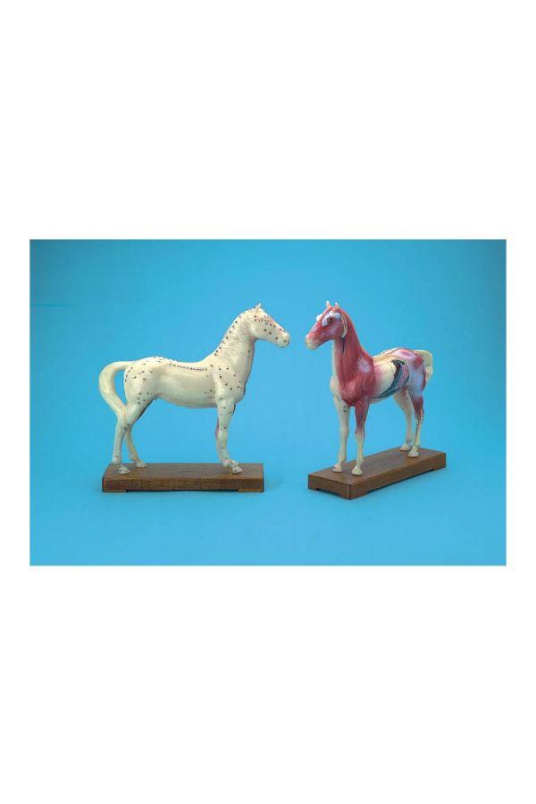 馬體針灸穴位模型24公分(數字)